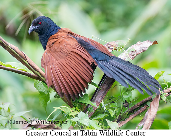 Greater Coucal - © James F Wittenberger and Exotic Birding Tours