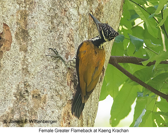 Greater Flameback - © James F Wittenberger and Exotic Birding Tours