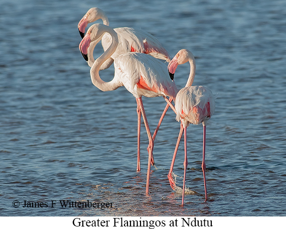 Greater Flamingo - © James F Wittenberger and Exotic Birding LLC