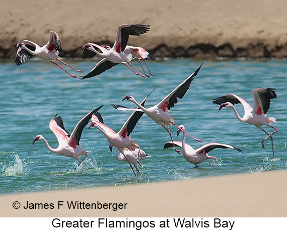 Greater Flamingo - © The Photographer and Exotic Birding LLC