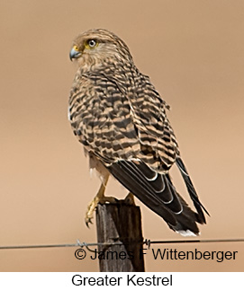 Greater Kestrel - © James F Wittenberger and Exotic Birding LLC