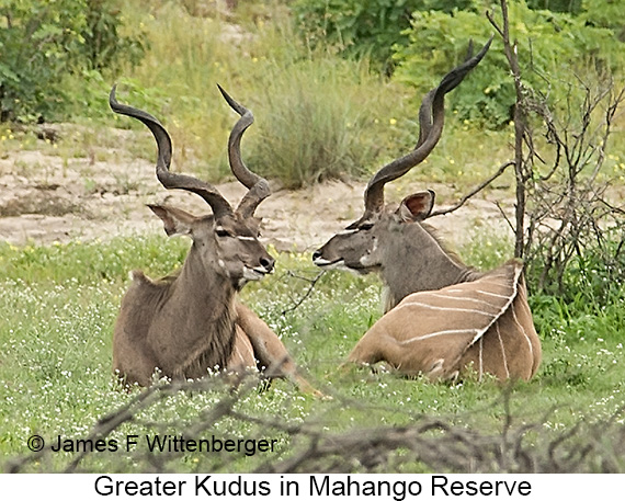 Greater Kudu - © James F Wittenberger and Exotic Birding LLC