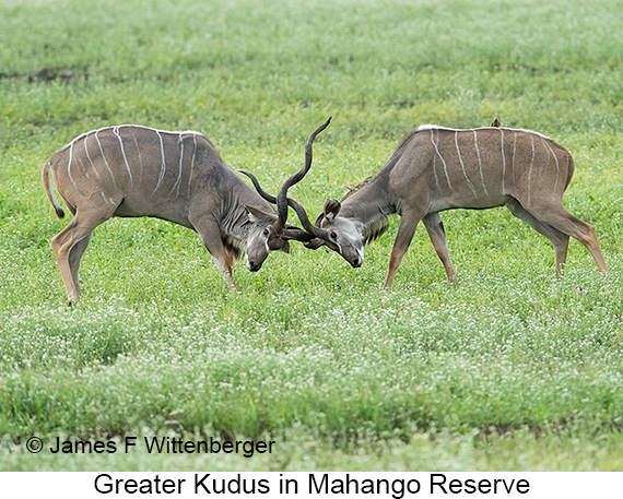 Greater Kudu - © The Photographer and Exotic Birding LLC