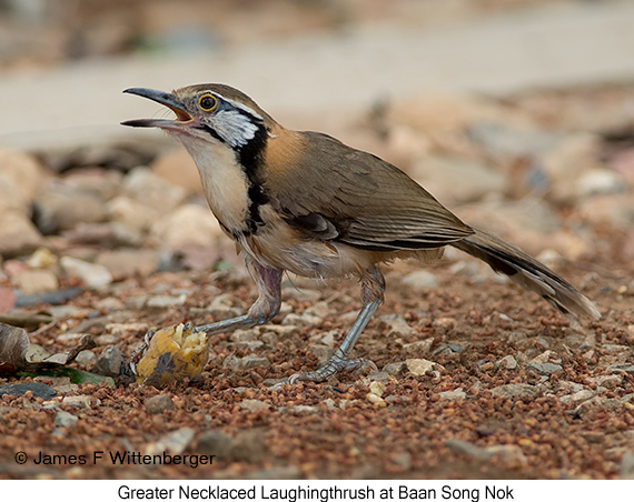 Greater Necklaced Laughingthrush - © James F Wittenberger and Exotic Birding Tours
