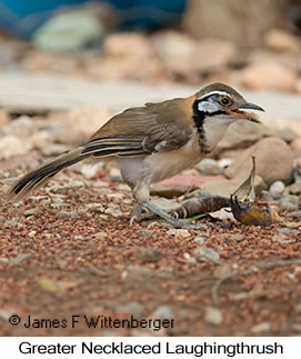 Greater Necklaced Laughingthrush - © James F Wittenberger and Exotic Birding LLC