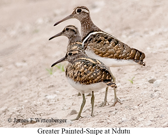 Greater Painted-Snipe - © James F Wittenberger and Exotic Birding LLC