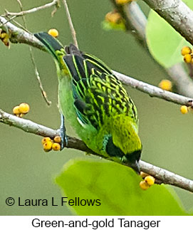 Green-and-gold Tanager - © Laura L Fellows and Exotic Birding LLC