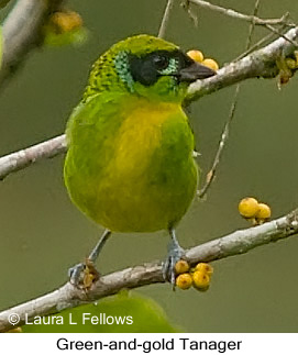 Green-and-gold Tanager - © Laura L Fellows and Exotic Birding Tours