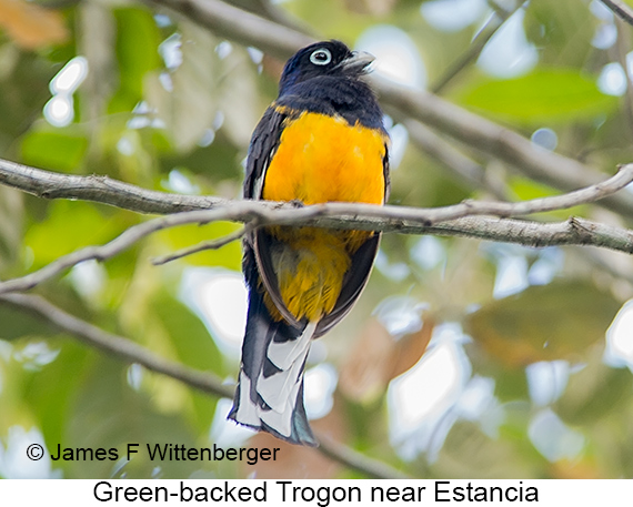 Green-backed Trogon - © James F Wittenberger and Exotic Birding LLC