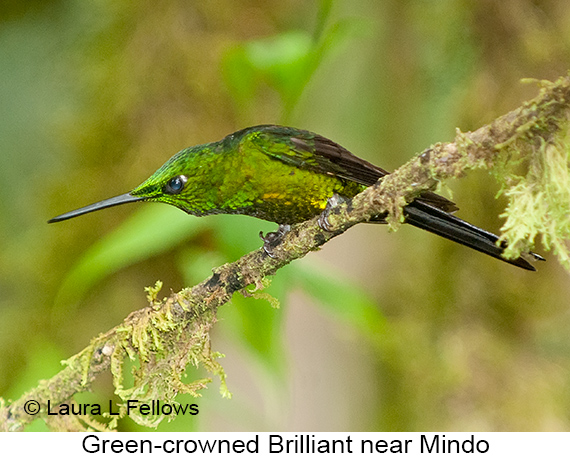 Green-crowned Brilliant - © Laura L Fellows and Exotic Birding Tours