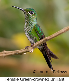 Green-crowned Brilliant - © Laura L Fellows and Exotic Birding LLC