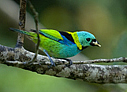 Green-headed Tanager - © Laura L Fellows and Exotic Birding Tours