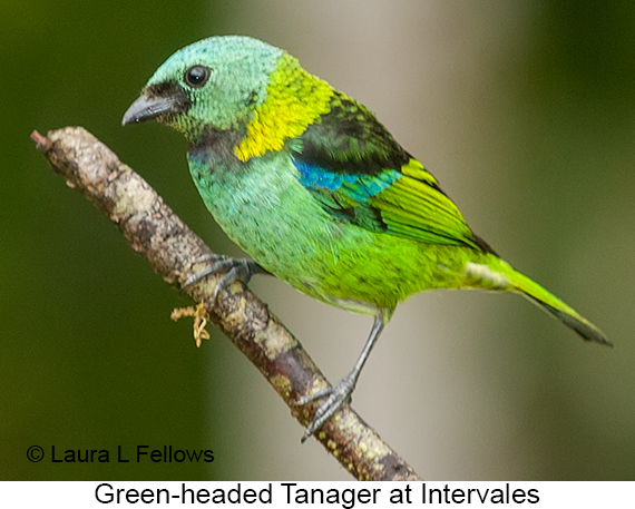 Green-headed Tanager - © Laura L Fellows and Exotic Birding LLC