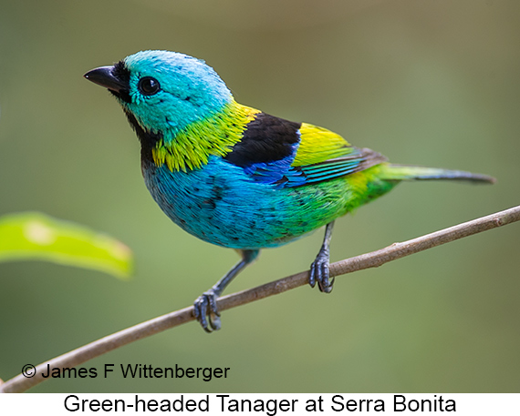 Green-headed Tanager - © The Photographer and Exotic Birding LLC