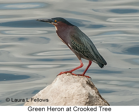 Green Heron - © The Photographer and Exotic Birding LLC