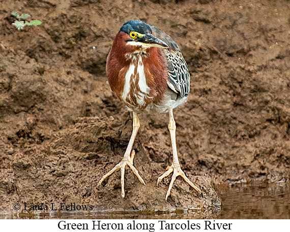 Green Heron - © Laura L Fellows and Exotic Birding LLC