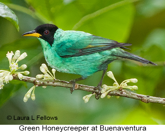 Green Honeycreeper - © Laura L Fellows and Exotic Birding Tours