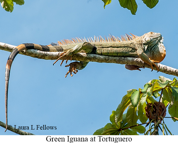 Green Iguana - © Laura L Fellows and Exotic Birding Tours