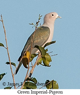 Green Imperial-Pigeon - © James F Wittenberger and Exotic Birding Tours