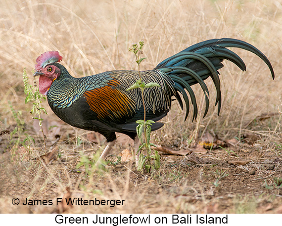Green Junglefowl - © The Photographer and Exotic Birding LLC