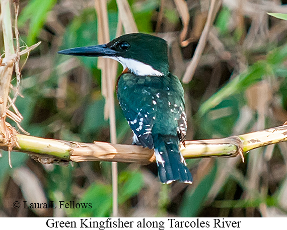 Green Kingfisher - © Laura L Fellows and Exotic Birding LLC