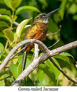 Green-tailed Jacamar - © Laura L Fellows and Exotic Birding Tours