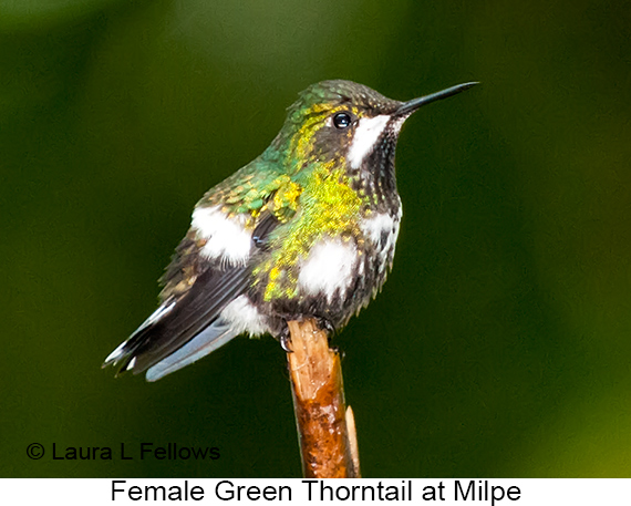 Green Thorntail - © Laura L Fellows and Exotic Birding Tours