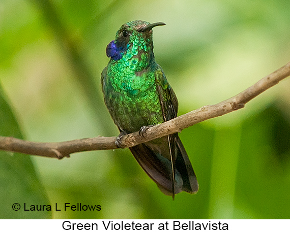 Green Violetear - © Laura L Fellows and Exotic Birding Tours