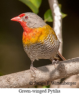 Green-winged Pytilia - © James F Wittenberger and Exotic Birding LLC