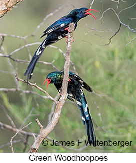 Green Woodhoopoe - © James F Wittenberger and Exotic Birding LLC