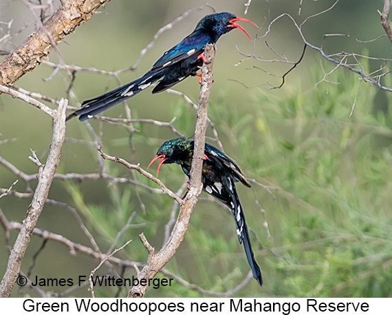 Green Woodhoopoe - © The Photographer and Exotic Birding LLC