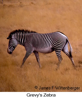 Grevy's Zebra - © James F Wittenberger and Exotic Birding Tours