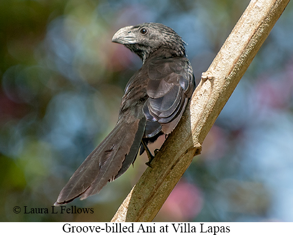 Groove-billed Ani - © Laura L Fellows and Exotic Birding Tours