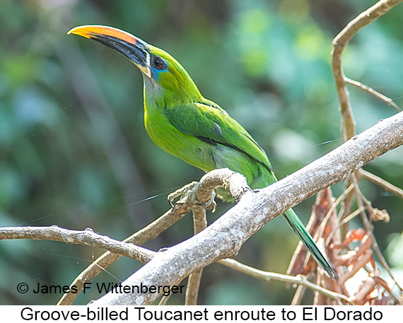 Groove-billed Toucanet - © James F Wittenberger and Exotic Birding LLC