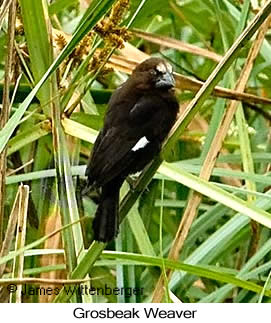 Grosbeak Weaver - © James F Wittenberger and Exotic Birding LLC