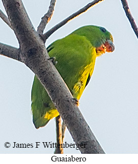 Guaiabero - © James F Wittenberger and Exotic Birding Tours