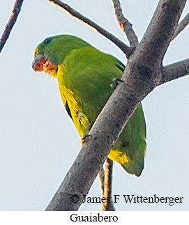 Guaiabero - © James F Wittenberger and Exotic Birding LLC