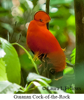 Guianan Cock-of-the-rock - © Laura L Fellows and Exotic Birding LLC