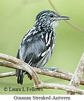 Guianan Streaked-Antwren - © Laura L Fellows and Exotic Birding LLC