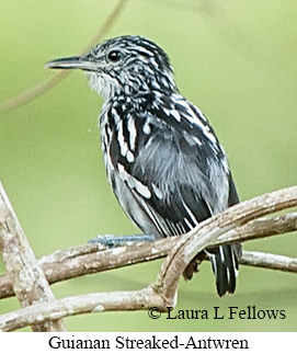 Guianan Streaked-Antwren - © Laura L Fellows and Exotic Birding Tours