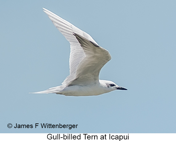Gull-billed Tern - © James F Wittenberger and Exotic Birding LLC