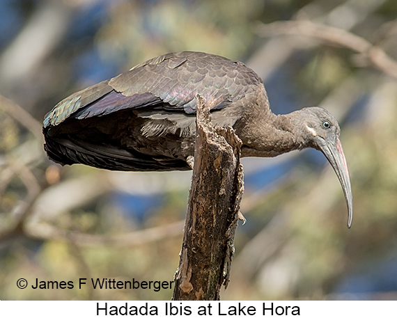 Hadada Ibis - © The Photographer and Exotic Birding LLC