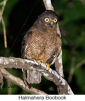 Halmahera Boobook - © James F Wittenberger and Exotic Birding Tours
