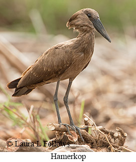 Hamerkop - © Laura L Fellows and Exotic Birding LLC