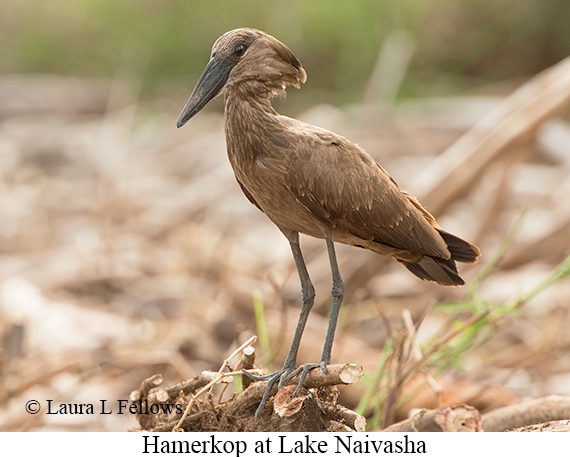 Hamerkop - © Laura L Fellows and Exotic Birding Tours