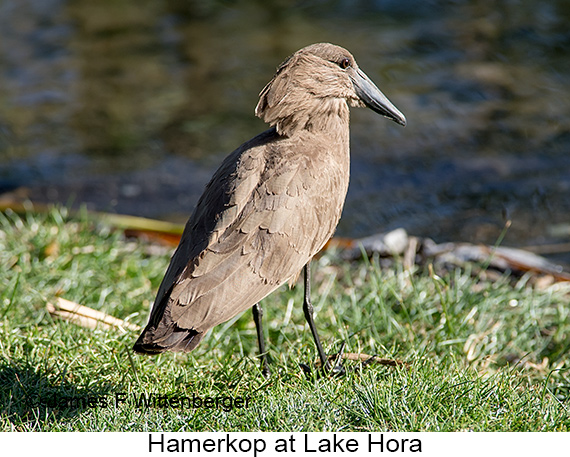 Hamerkop - © James F Wittenberger and Exotic Birding LLC
