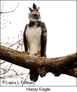 Harpy Eagle - © Laura L Fellows and Exotic Birding LLC