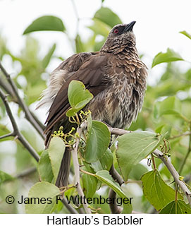 Hartlaub's Babbler - © James F Wittenberger and Exotic Birding LLC