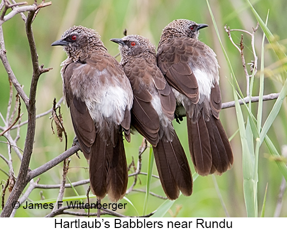 Hartlaub's Babbler - © The Photographer and Exotic Birding LLC