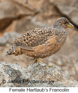 Hartlaub's Francolin - © James F Wittenberger and Exotic Birding LLC